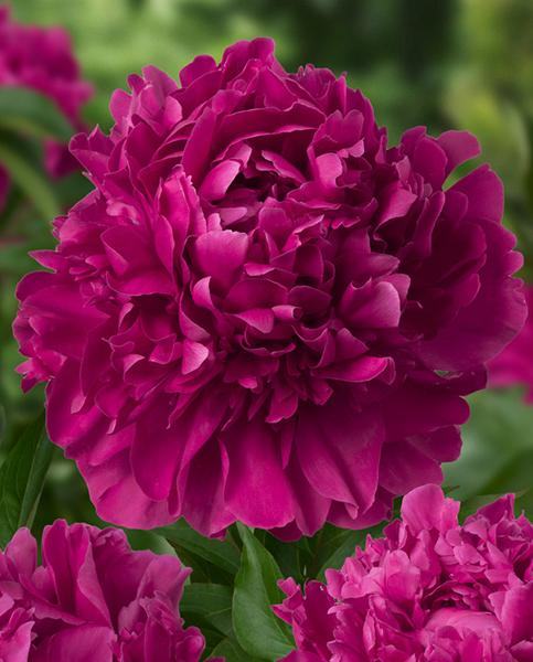 Paeonia mixed collection