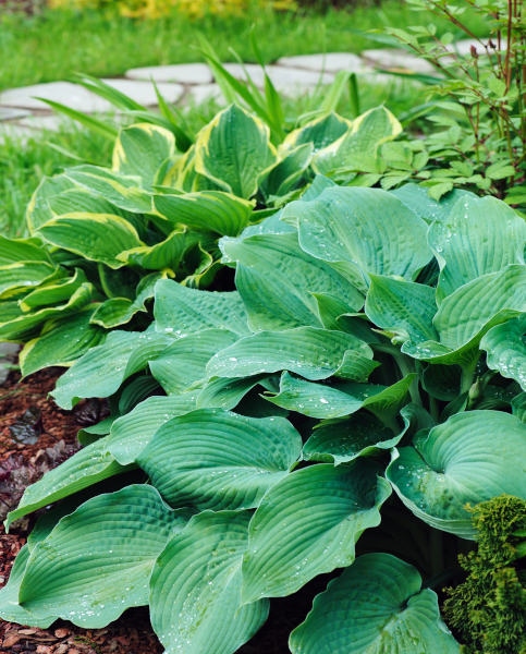 Hosta Mixed Collection