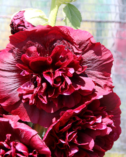 Alcea Double Purple