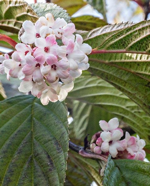 Viburnum Collection