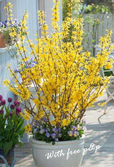 Abeliophyllum (Forsythia) Collection