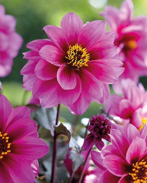 Dahlia Dreamy Kiss