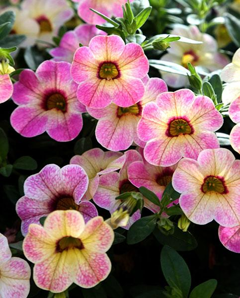 Calibrachoa Pink Passion