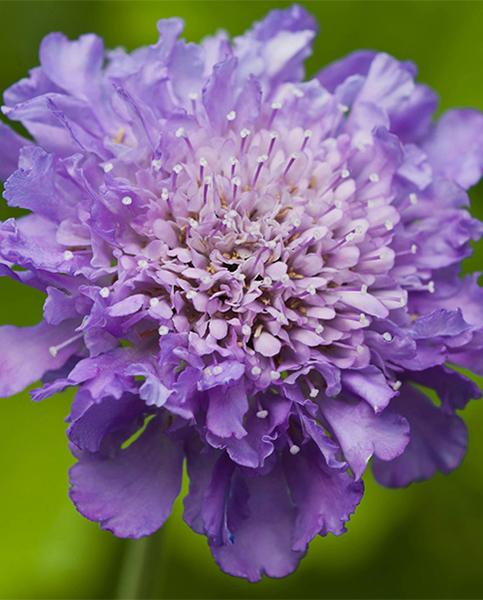 Scabiosa Collection
