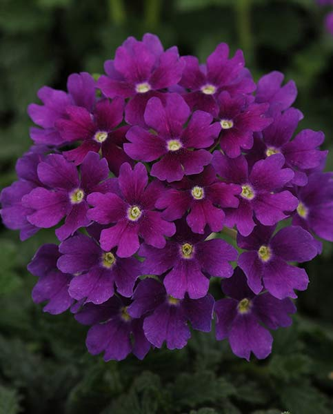 Verbena Endurascape Dark Purple