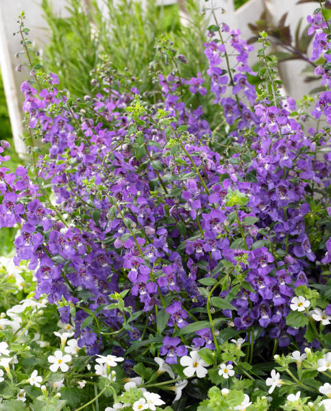 Angelonia Archangel Dark Purple