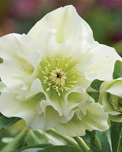 Helleborus Double Collection