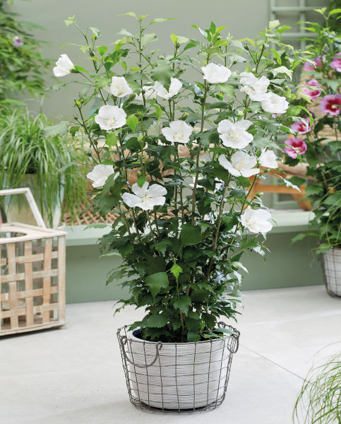 Hibiscus Flower Tower White