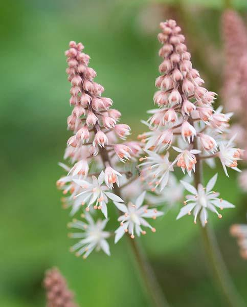 Tiarella Collection