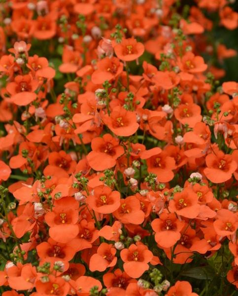Diascia Breezee Orange