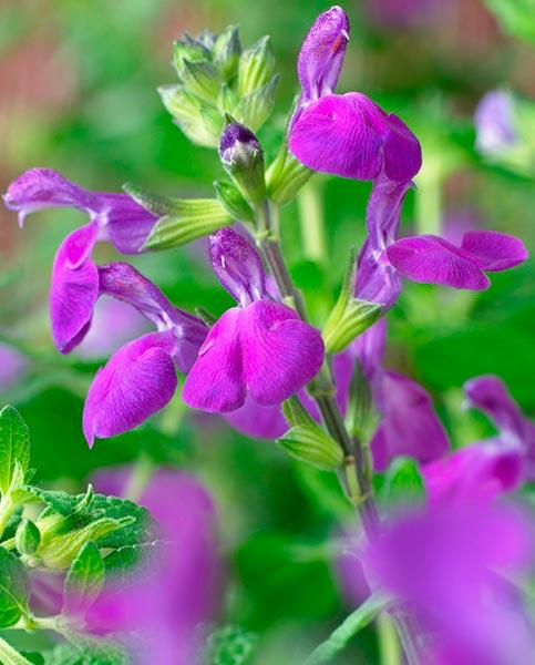 Salvia nemerosa Sensation Collection