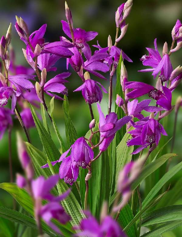 Bletilla Mixed Collection