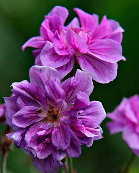 Double Geranium collection