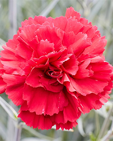 Dianthus Red Carpet