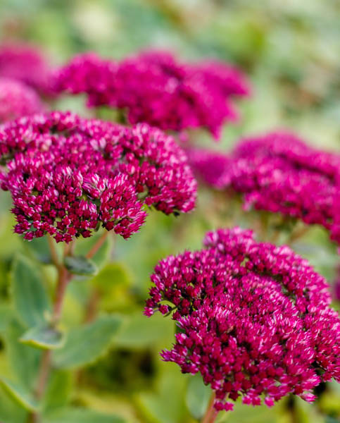 Sedum Brilliant