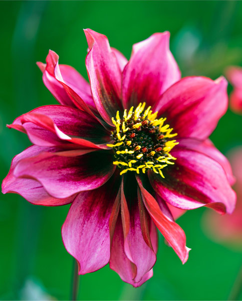 Dahlia Dreamy Nights