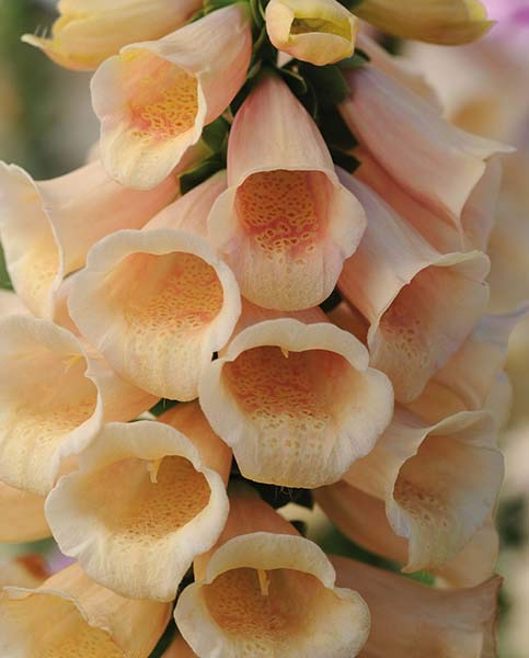 Digitalis Dalmation Peach