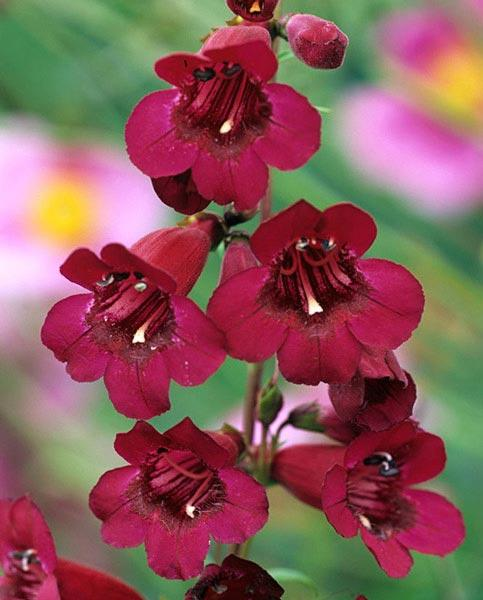 Penstemon Mixed Collection