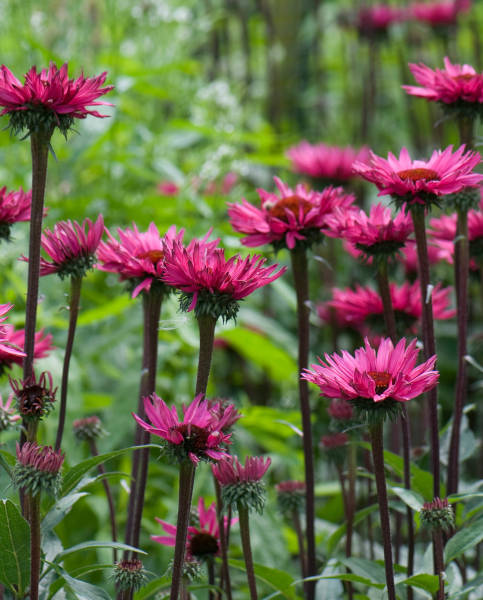 Echinacea purpurea Fatal Attraction