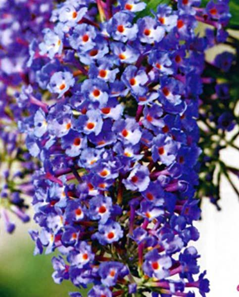 Buddleja Bloomtastic Dreaming Collection