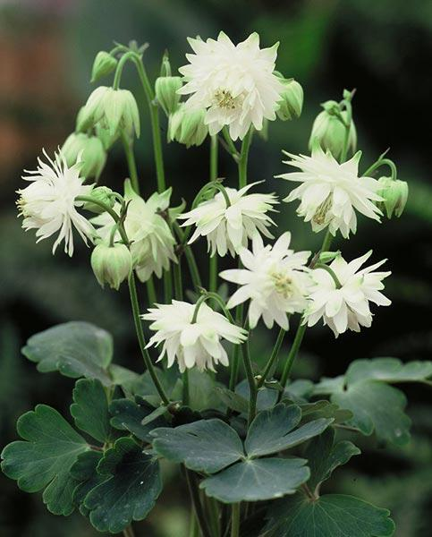 Aquilegia Collection