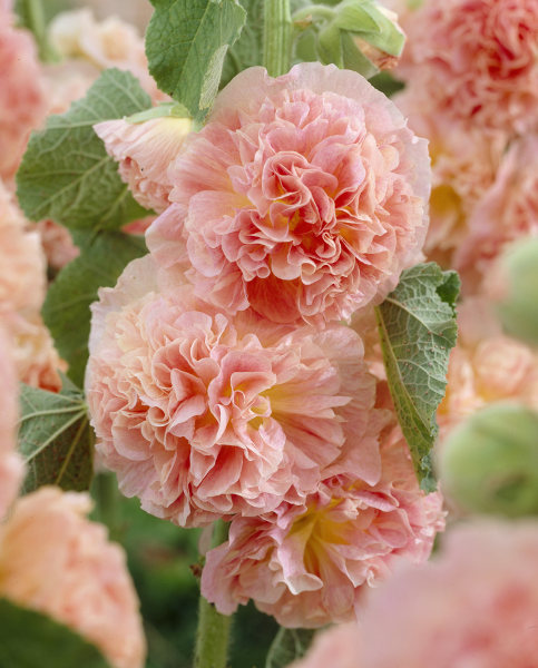 Alcea Peaches & Dreams
