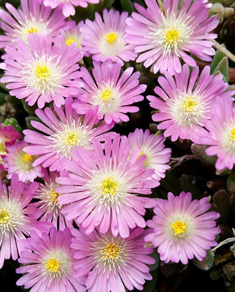 Delosperma Rose Quartz