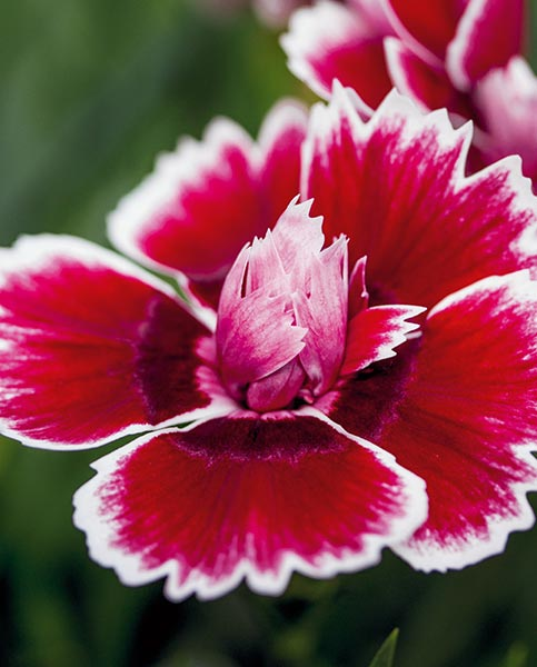 Dianthus Sunnybees Red Picotee