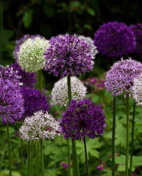 Allium mixed