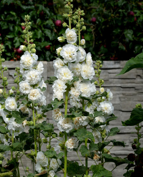 Alcea Double White