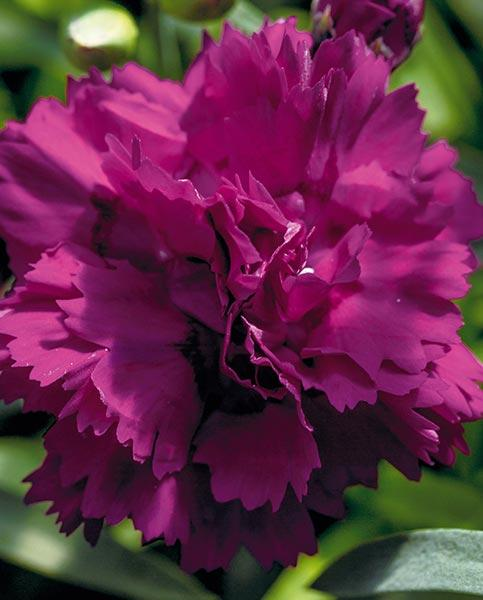Dianthus Collection