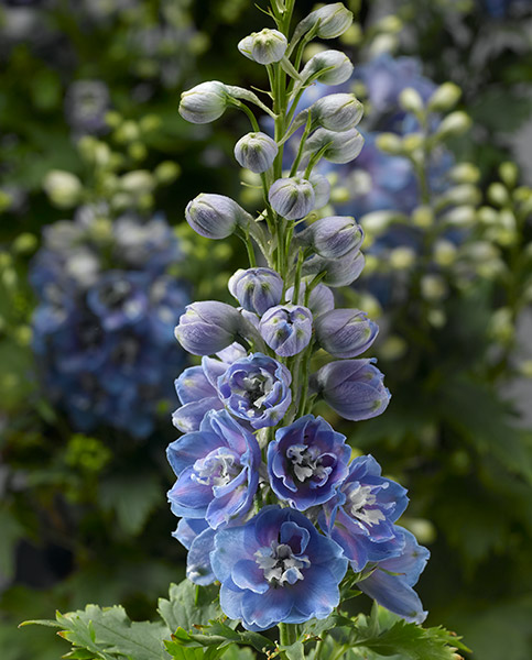 Delphinium Delphina sky Blue with White Bee