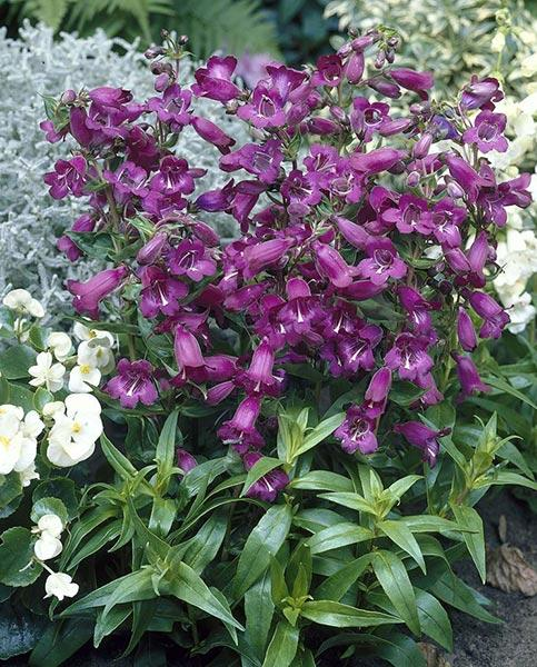 Penstemon Collection