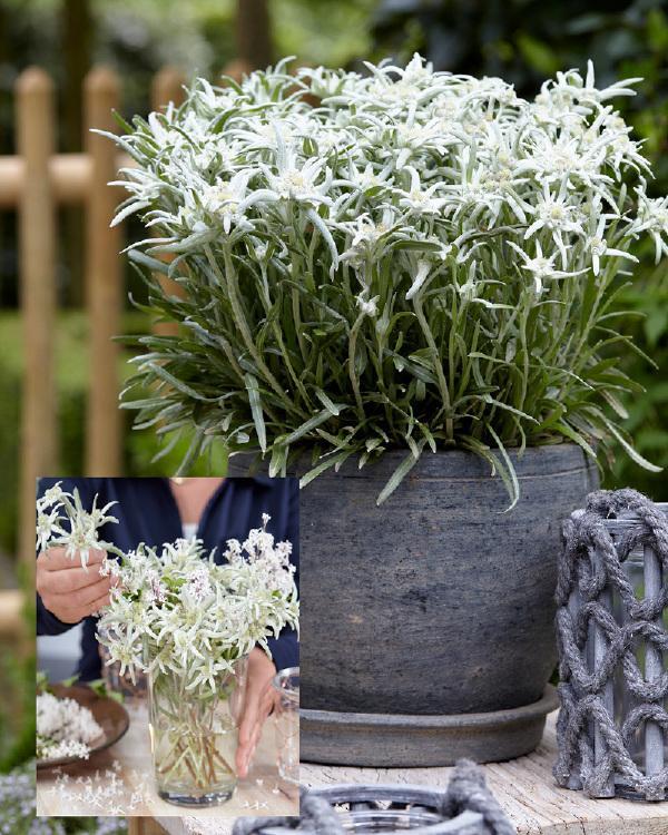 """Résultat de recherche d'images pour """"edelweiss en pot"""""""
