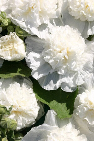 Alcea Chater\'s Double White