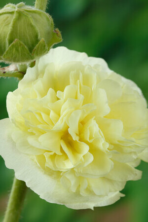 Alcea Chater\'s Double Yellow