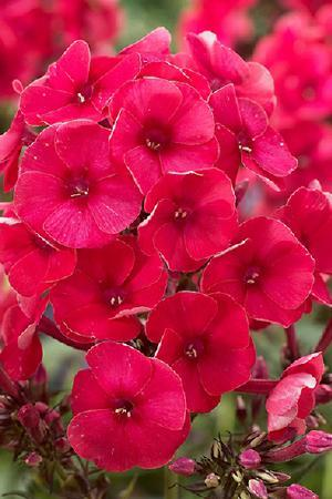 Phlox paniculata Grenadine Dream