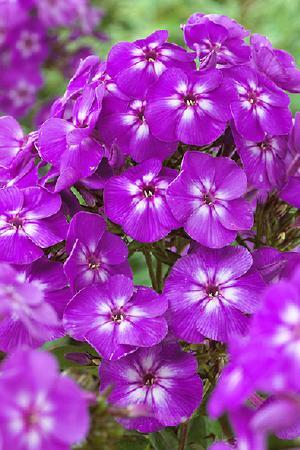 Phlox paniculata Purple Kiss