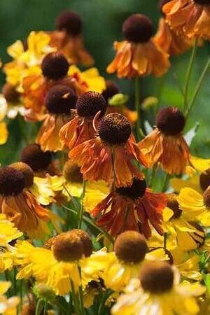 Helenium Indian Summer