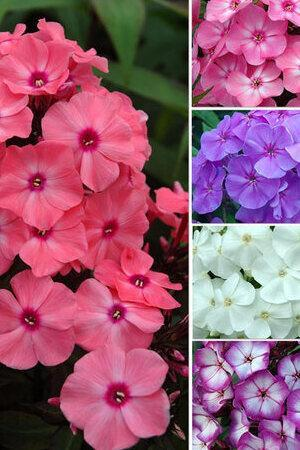 Phlox paniculata Sweet Summer Mix