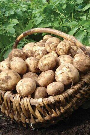 Full-Season Seed Potato Collection