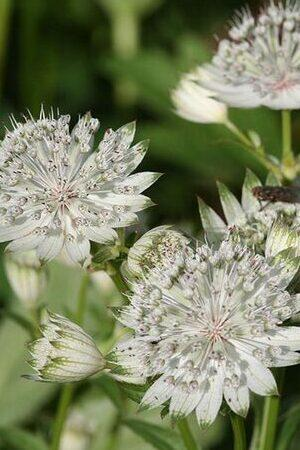 Astrantia major Snow Star