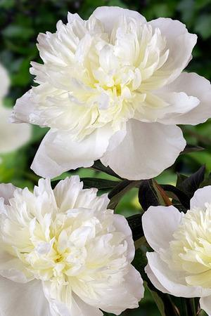 Three Luxurious Peonies