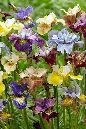 Iris Sibirica Peacock Mix