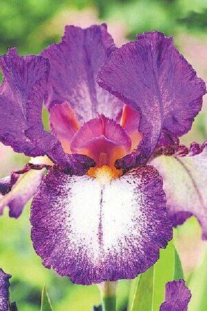 Iris Autumn Encore
