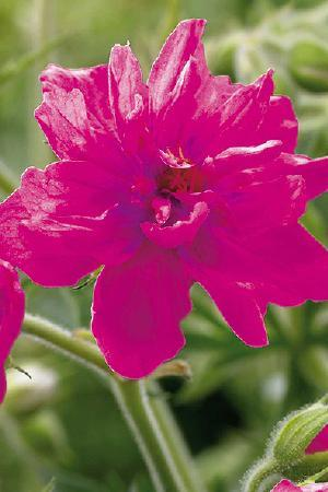 Geranium Birch Double Red