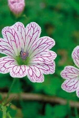 Geranium Collection