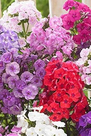 Phlox Breeders Mix