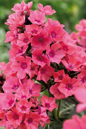 Phlox Collection