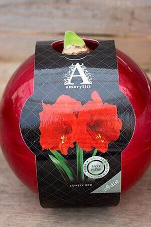Red Amaryllis Orb